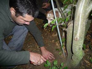 Wirtsbaum, Trüffel, Hainbuche